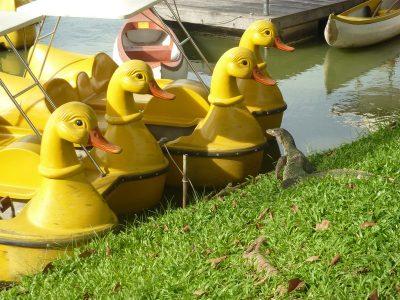 Le lézard et les canards
