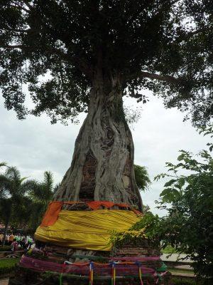 L'arbre Qui Pousse Autour Du Chedi