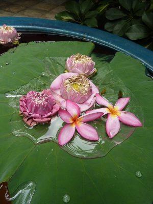 Quelques Fleurs De Lotus Flottant