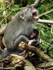 Dur d'être une maman, même pour un singe ! (A Monkey Forest, Ubud)