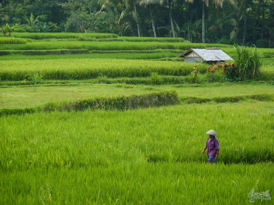 Un fermier d'Ubud dans les champs de riz