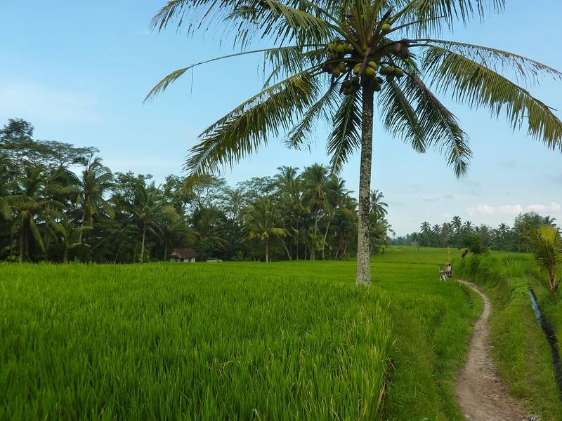 Les chemins au milieu des terrasses de riz d'Ubud