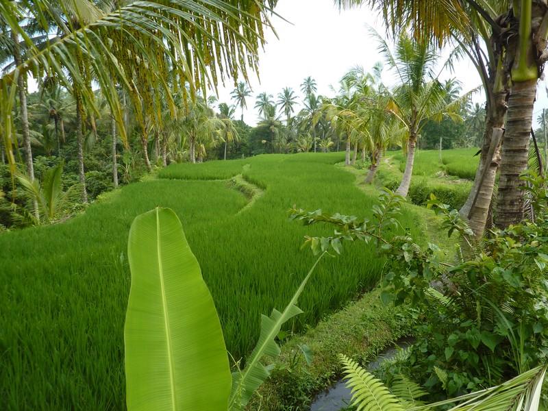 Ricefields around Ubud
