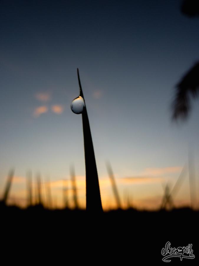 Une goutte de rosée sur un brin d'herbe au lever du soleil
