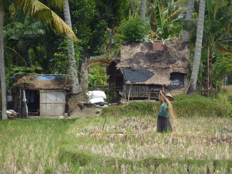 La récolte du riz