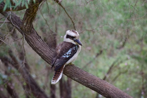 Un Blue-winged Kookaburra