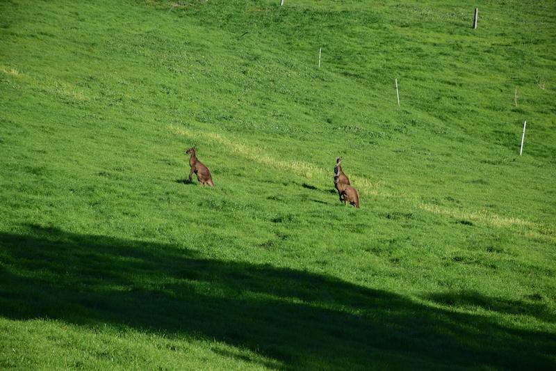 Des Red Kangaroos (les Plus Grands) Dans La Ferguson Vale