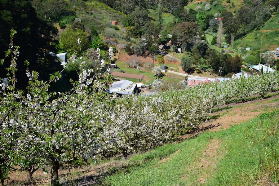 La ferme de cerises de nos amis à Adelaide