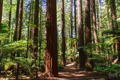 Les séquoias de la Redwoods Forest