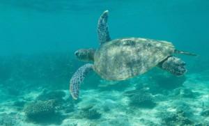 Une tortue dans le Ningaloo Reef (Cote ouest)