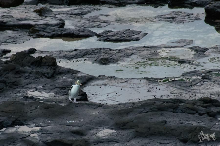 Les yellow eyed penguins et leur démarche pataude