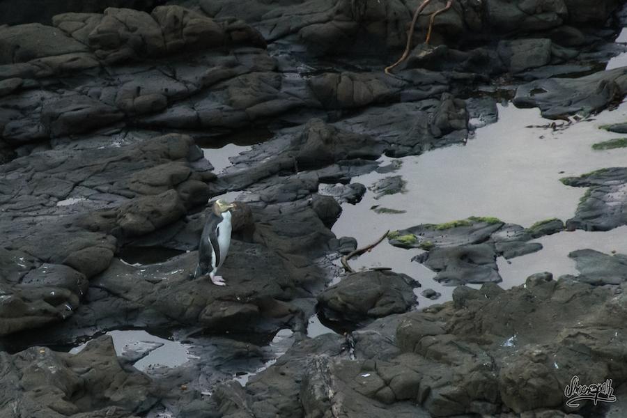 Les fameux yellow eyed penguins pointent le bout de leur bec !