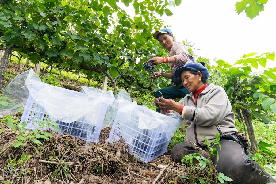 Vendange à Cizhong