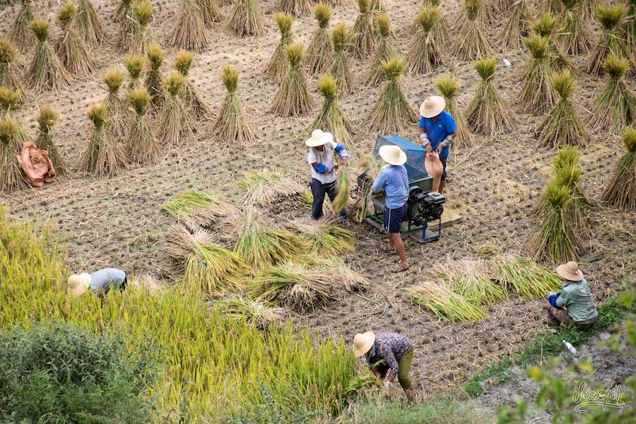 Récolte du riz à Biaocun