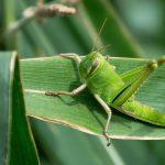 L'intru De La Série... Ici Les Crickets Sont Légèrement Balèses (Il Est Posé Sur Une Feuille D'un Pied De Maïs De 2m De Haut !)
