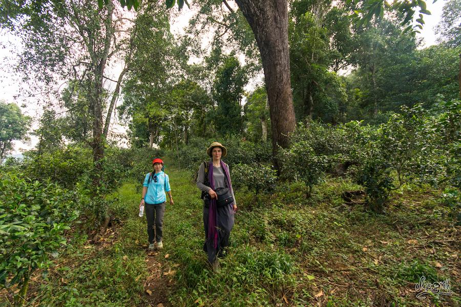 Avec Lijuan Dans Les Plantations De Thé En Plein Sous-bois