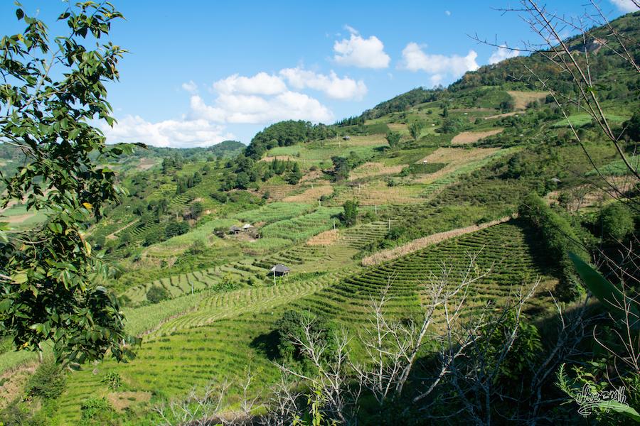 Champs de thé sur les montagnes du Xishuangbanna