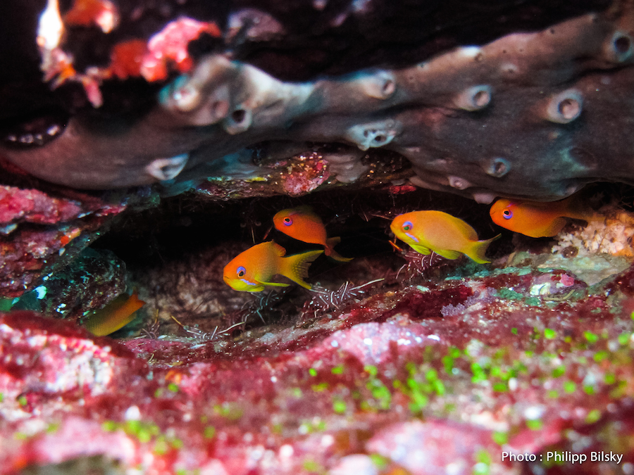 Cachés dans les coraux...