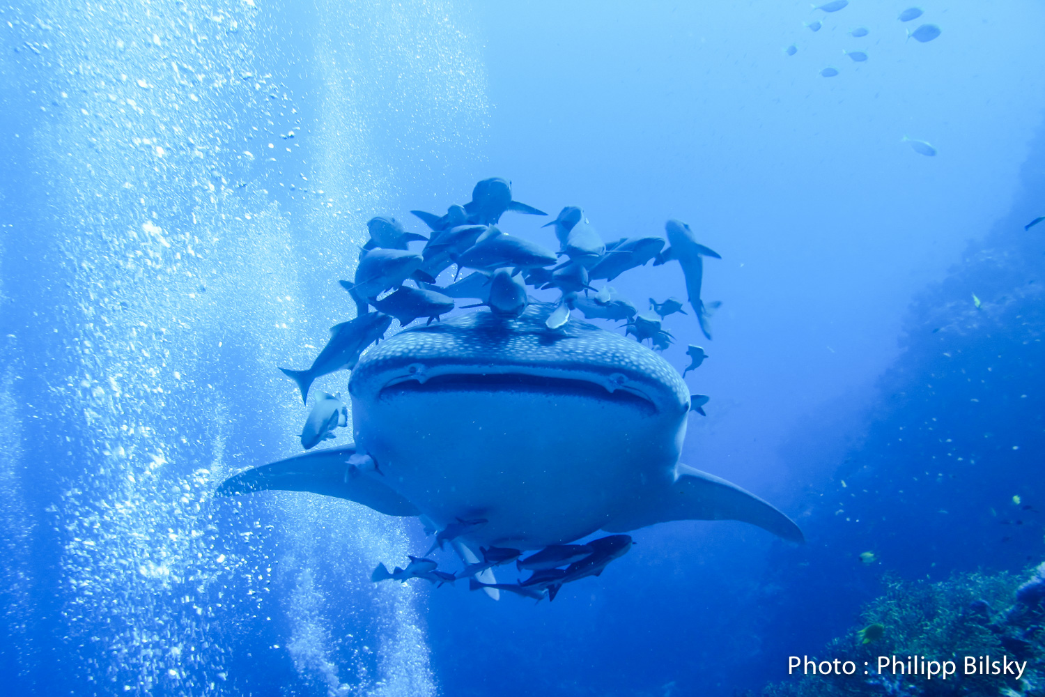 A young female whale shark in the Similan Islands