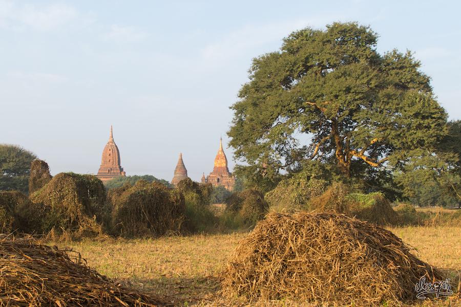Dans les champs de Bagan