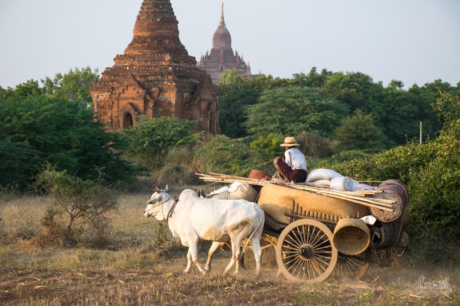 Le meilleur moyen de circuler au milieu des pagodes de Bagan ? Le char à boeufs évidemment !