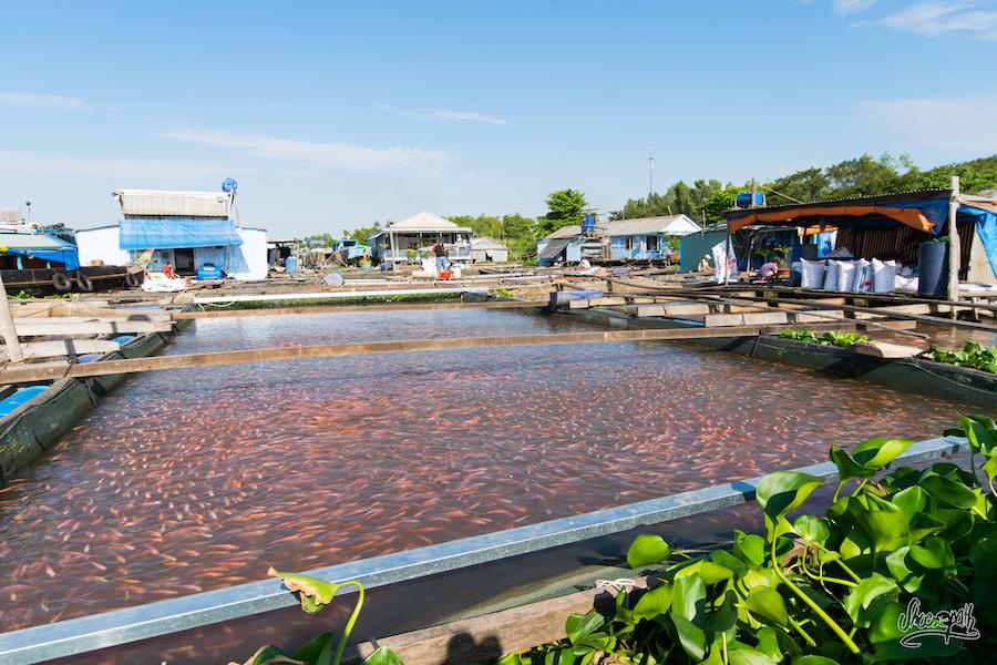 Une Des 1000 Fermes De Poissons De Chau Doc
