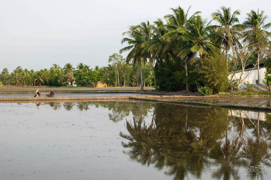 Culture de riz dans le delta du Mékong