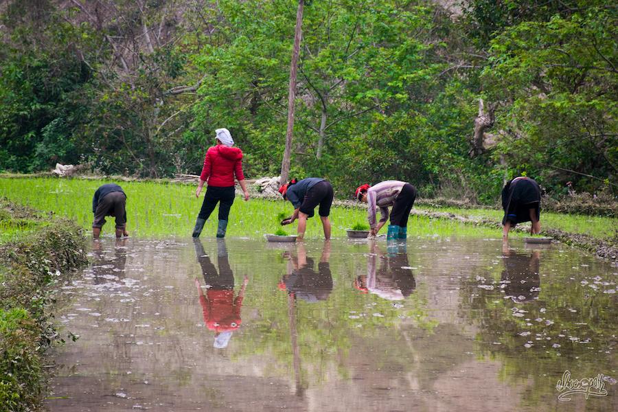 Dans les champs de riz