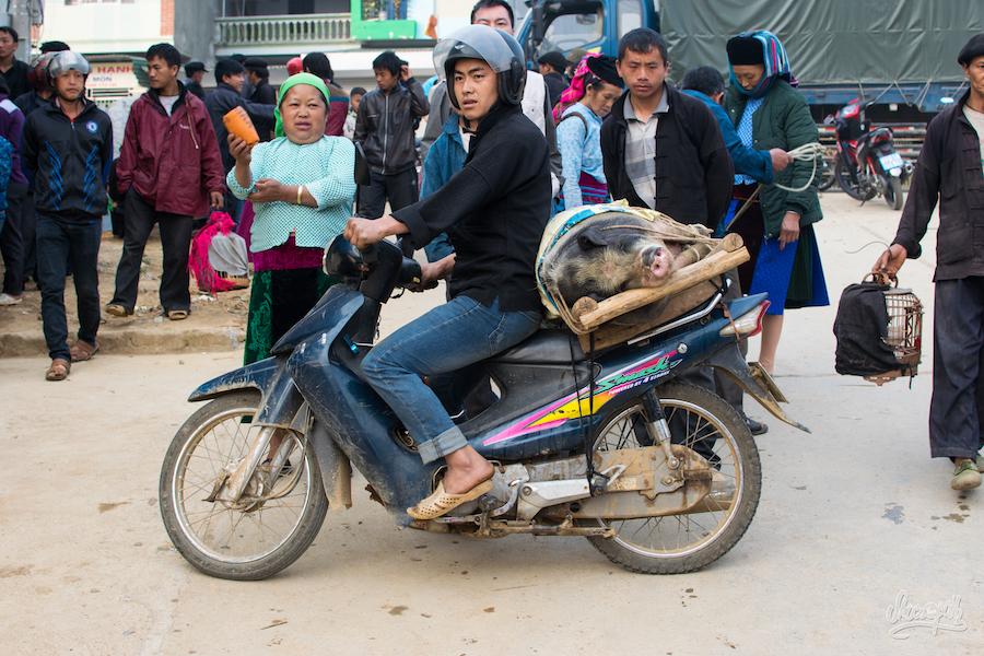 Quand On Achète Un Cochon à Dong Van, Voilà Comment On Le Ramène à La Maison