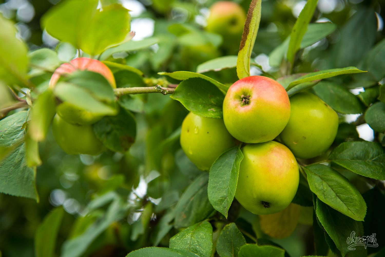 En Normandie, on est surtout forts en pommes