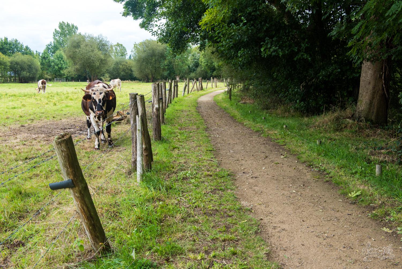 Le long de la Véloscénie, les vaches normandes regardent passer les vélos
