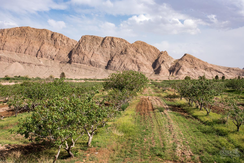 Les pistachiers de la région de Kerman
