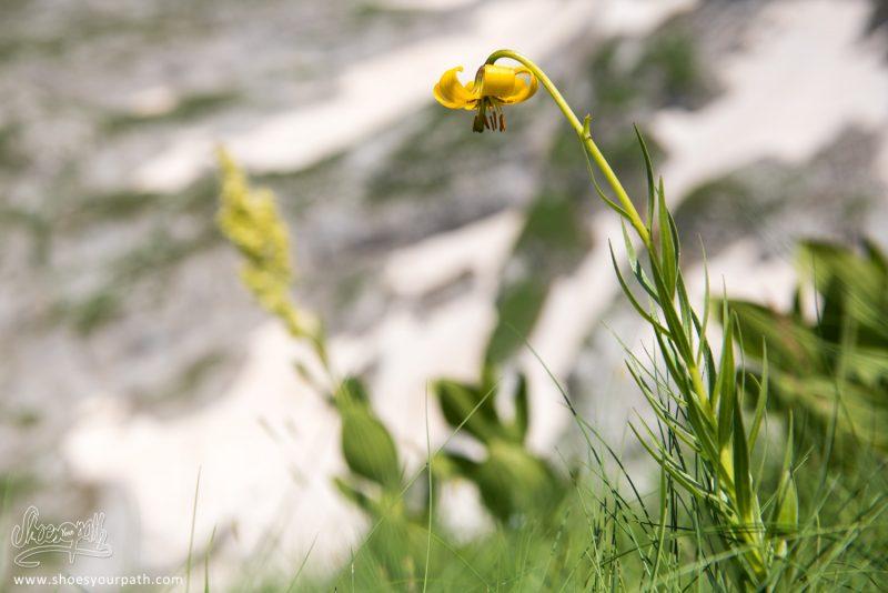 Un Lys D'albanie, Lilium Albanicum