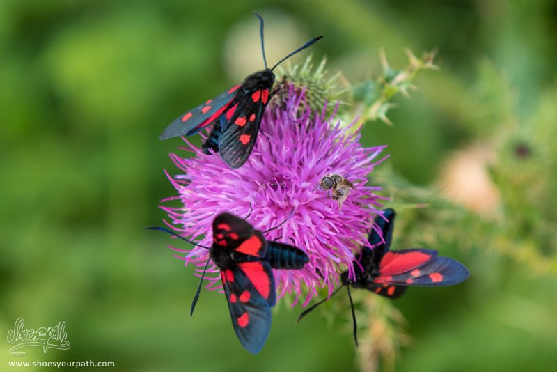 Fleurs Et Insectes Des Balkans