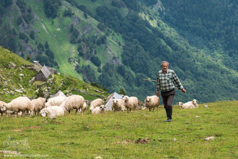 Salè Ramenant Son Troupeau De Moutons à Balqin