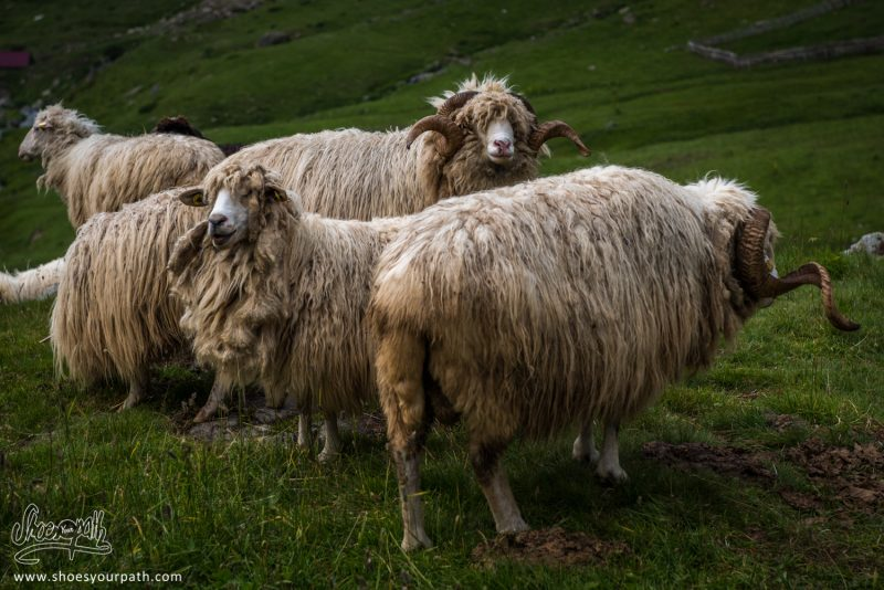 Moutons De Doberdöl - Albanie - Peaks Of The Balkans