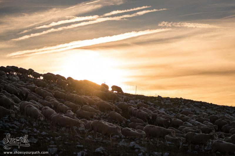 Troupeau De Mouton Et Lever De Soleil