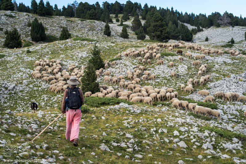 Mouvement De Troupeau De Moutons