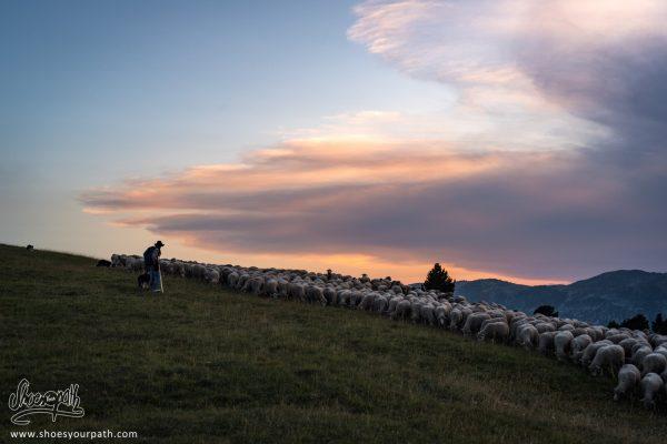 Retour à La Bergerie En Profitant Du Coucher De Soleil Après Une Journée Sur Les Pâturages Du Vercors