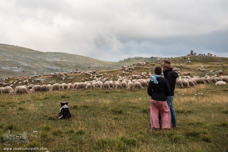 Surveillance Du Troupeau De Moutons Lors D'une éclaircie Dans Le Brouillard