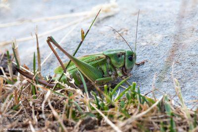 Jolie Sauterelle Verte