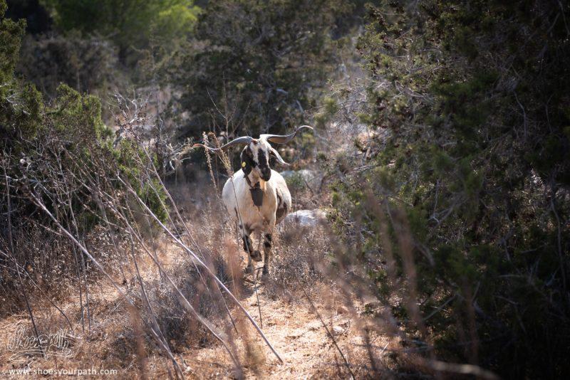 Des Chèvres Nous Observent Depuis Les Fourés Le Long Du Adonis Nature Trail