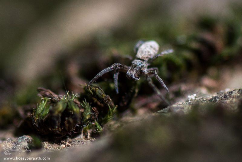 Minuscule Araignée A Peine Plus Haute Que La Mousser Du Rocher