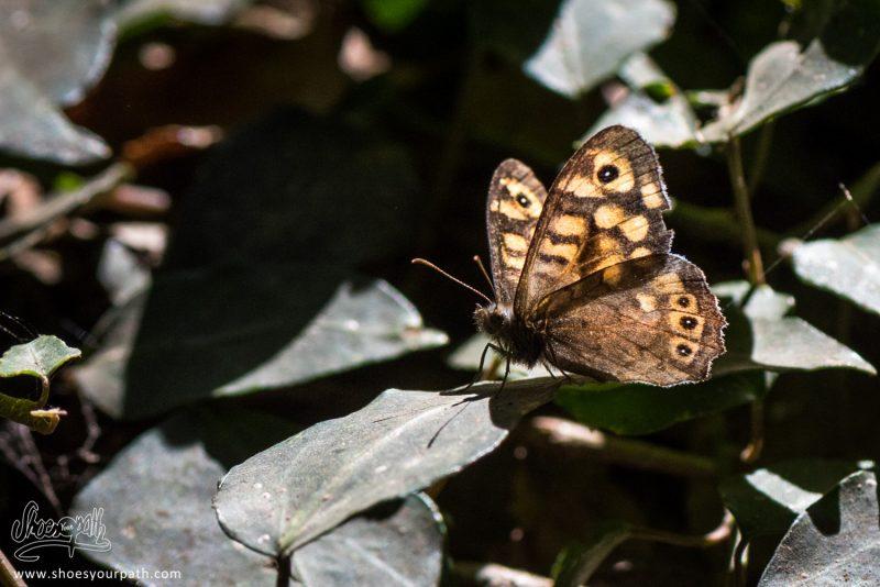 Très Joli Papillon De L'espèce Mégère Aussi Appellé Satyre (Lasiommata Megera)